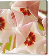 Flowers-hoya 1 Canvas Print
