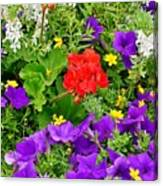 Flowers Of Bethany Beach - Petunias Canvas Print