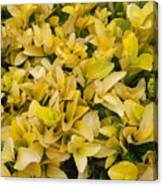 Flowers Of Domitilla Canvas Print