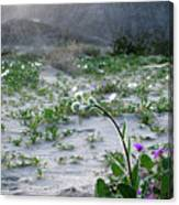 Flowers Of Ocotilla Canvas Print