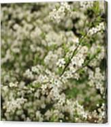 Flowers On A Plum Tree Canvas Print