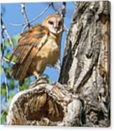 Fluffed Up Barn Owl Owlet Canvas Print