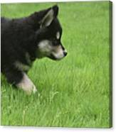 Fluffy Alusky Puppy Stalking In Green Grass Canvas Print