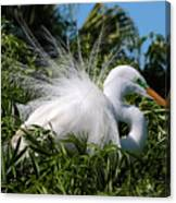 Fluffy Great Egret Canvas Print