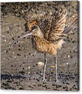 Fluffy Long-billed Curlew Canvas Print