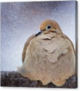 Fluffy Mourning Dove Canvas Print