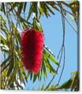 Fluffy Reds At The Library Canvas Print