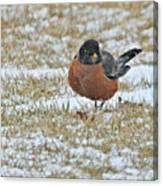 Fluffy Robin In Snow Canvas Print