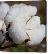 Fluffy White Alabama Cotton Canvas Print