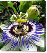 Fly On A Passion Flower Canvas Print