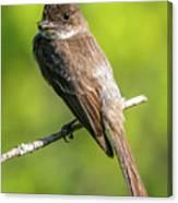 Flycatcher Canvas Print