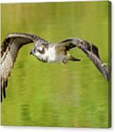Flying Osprey Canvas Print