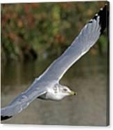 Flying Sea Gull - Eugene Oregon Canvas Print