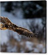 Flying White-tailed Eagle Canvas Print