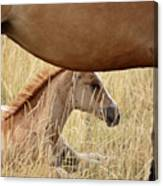 Foal And Mare In A Saskatchewan Pasture Canvas Print