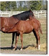 Foal Feeding With Milk Ranch Scene Canvas Print