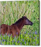 Foal Grazing  Canvas Print