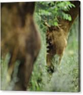 Foals Canvas Print