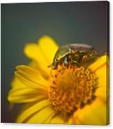 Focused June Beetle Canvas Print
