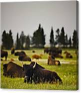 Foggy Herd Canvas Print