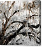 For The Grace Of The Beauty Of A Aged Tree Canvas Print