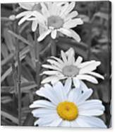 For The Love Of Daisy Canvas Print