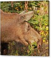 Forager Canvas Print