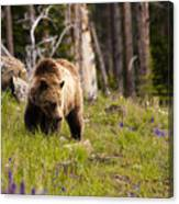 Foraging Grizzly Canvas Print