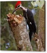 Foraging Pileated Woodpecker Canvas Print