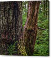 Forest At Camp Creek, Olympic National Forest, Washington, 2016 Canvas Print