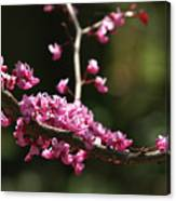 Forest Pansy Redbud Branch In May Canvas Print