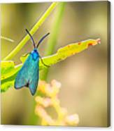 Forester Moth From Bulgaria Canvas Print