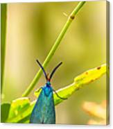 Forester Moth  Canvas Print