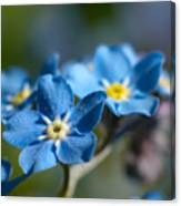 Forget -me-not 3 Canvas Print