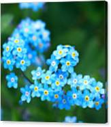 Forget -me-not 4 Canvas Print