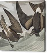Fork-tail Petrel Canvas Print