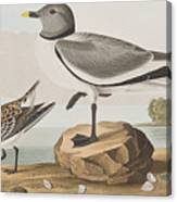 Fork-tailed Gull Canvas Print