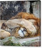 Fort Worth Zoo Sleepy Lion Canvas Print