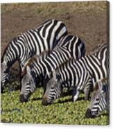 Four For Lunch - Zebras Canvas Print