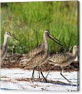Four Marbled Godwits Canvas Print