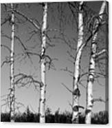 Four Naked Birches Bw Canvas Print