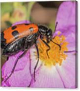 Four-spotted Blister Beetle - Mylabris Quadripunctata Canvas Print