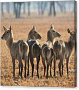 Four Waterbucks Canvas Print