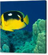 Fourspot Butterflyfish Canvas Print