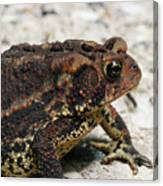 Fowler's Toad #2 Canvas Print