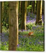 Fox In Bluebells Canvas Print