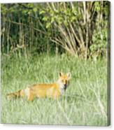 Fox In Meadow Canvas Print