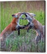 Fox Kitts Playing Canvas Print