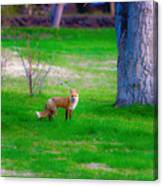 Fox Of Boulder County Canvas Print