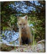Fox Pup112 Canvas Print
